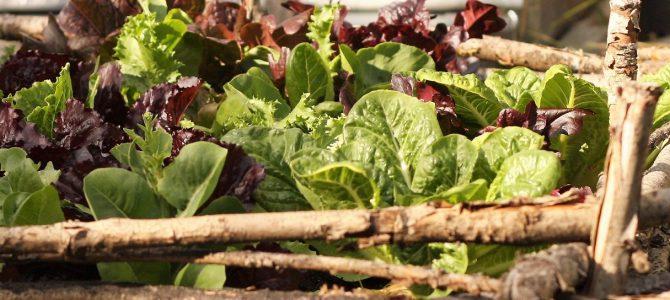 Vår köksträdgård 2017: Bladgrönsaker