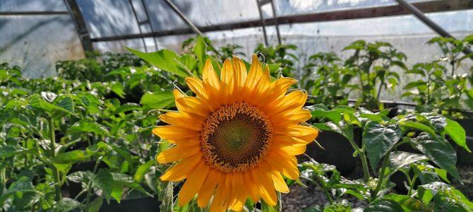 Växthuset i slutet av juli